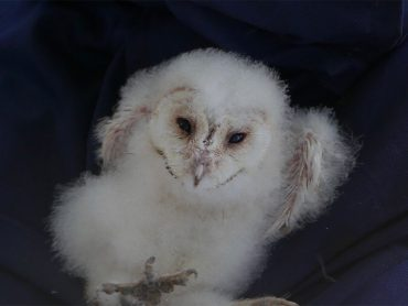 Health Checking of Owlets at Sawbridgeworth Marsh