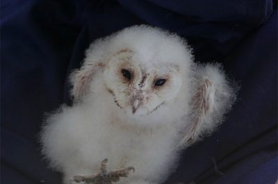 Health Checking of Owlets at Sawbridgeworth Marsh